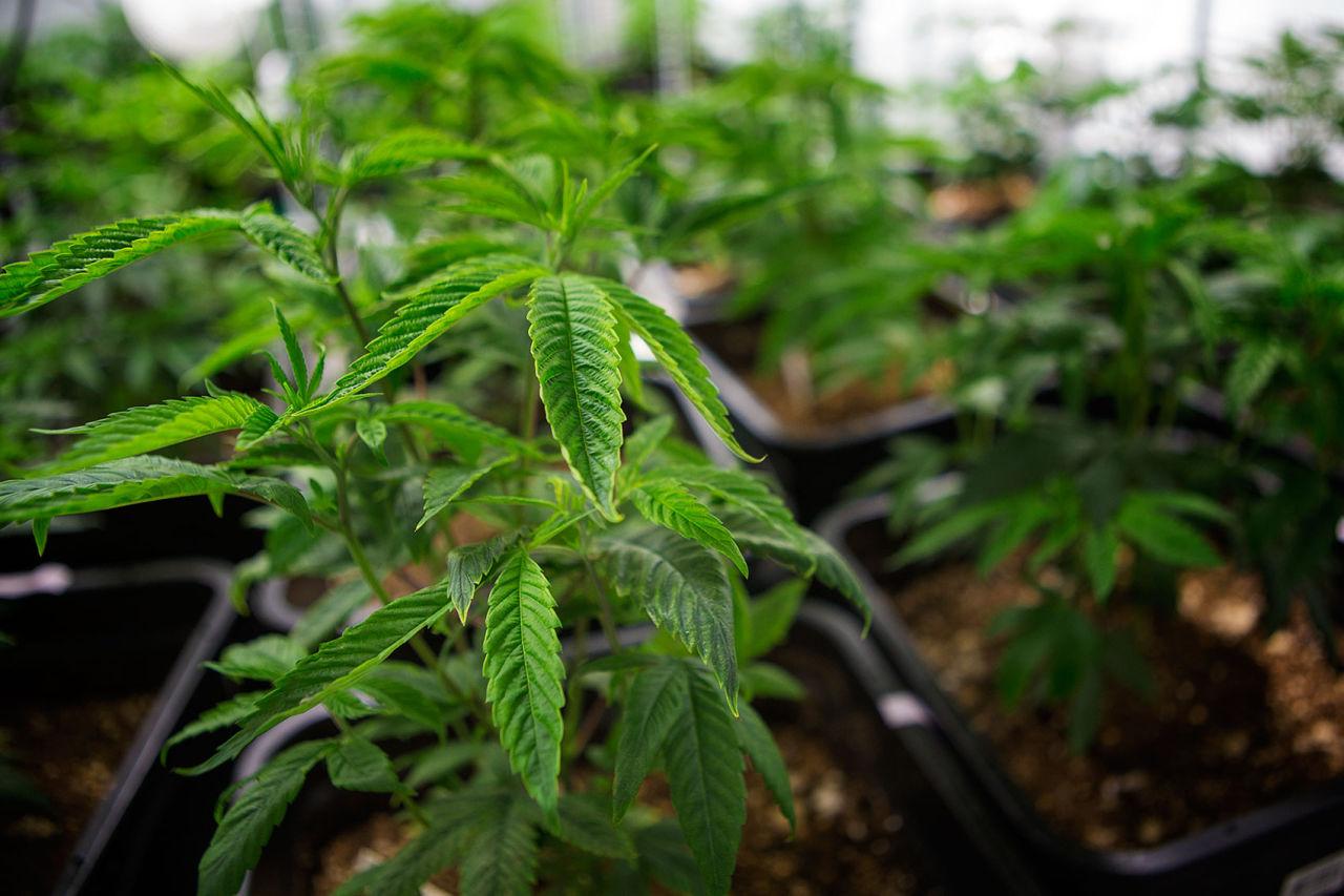 10 beneficios médicos comprobados de la marihuana
